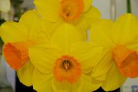 Daffodil Show Havens House 2015